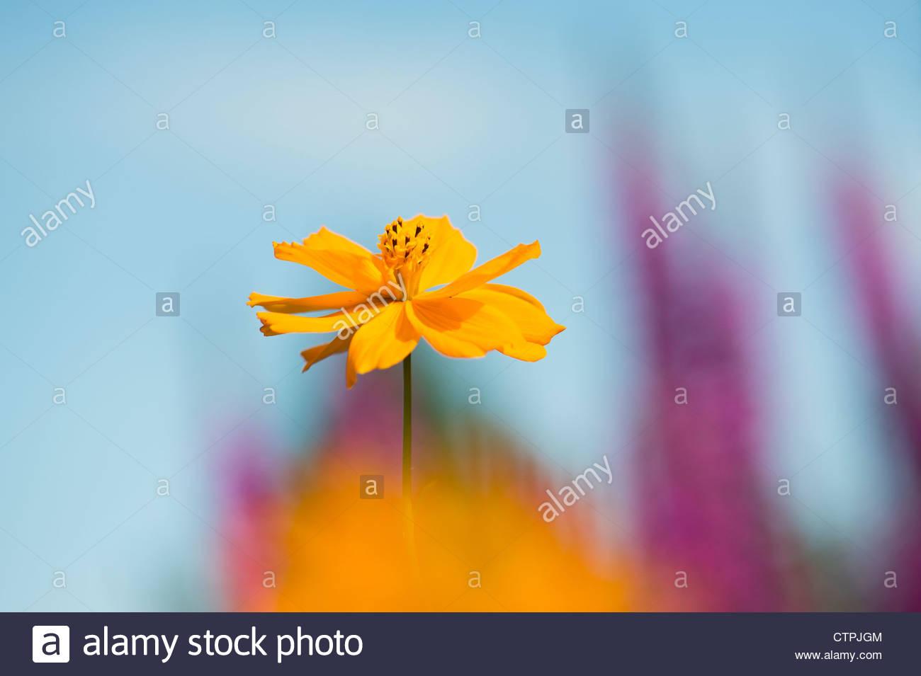 Cosmos sulfureus pulidor flor Imagen De Stock