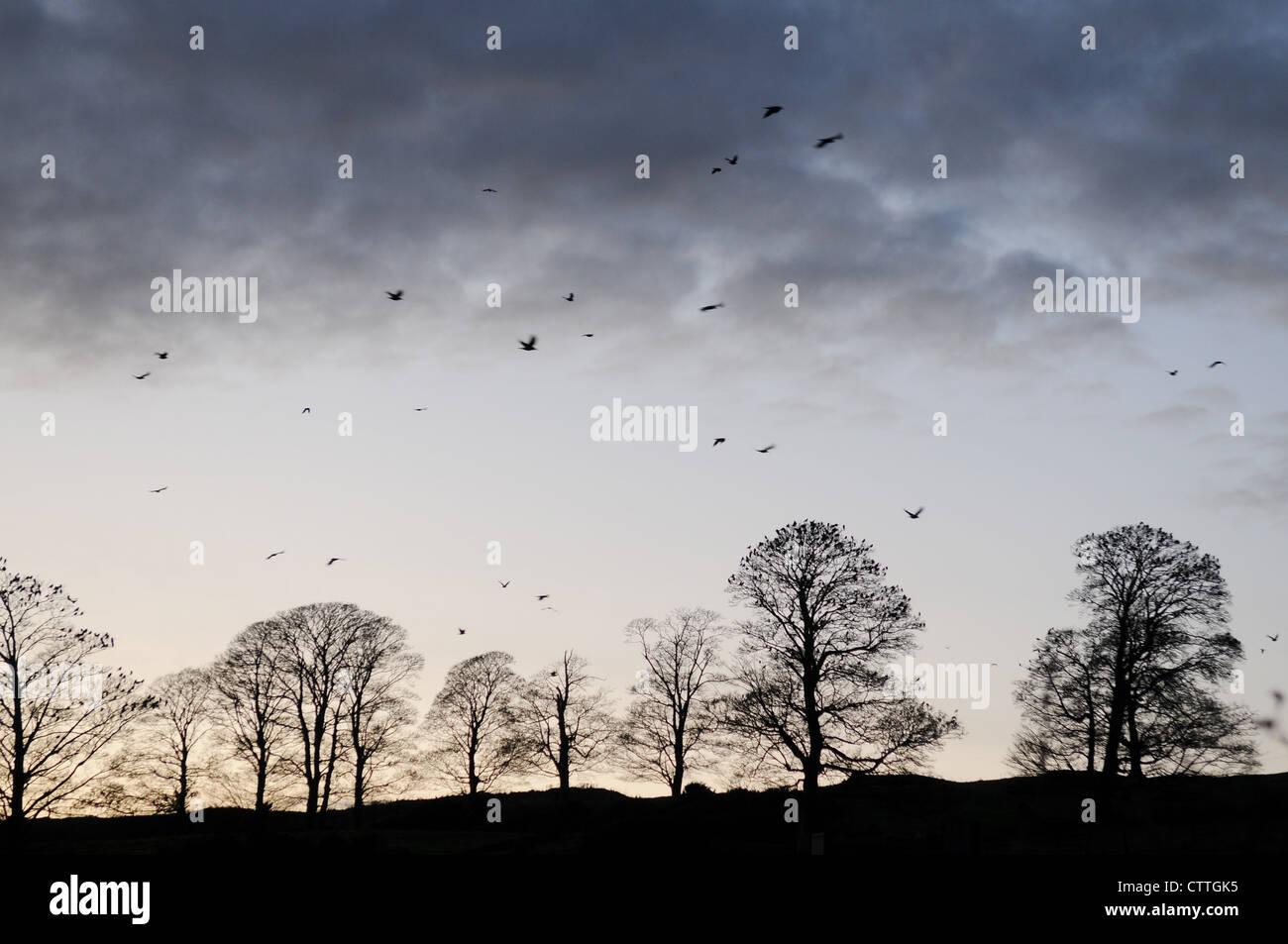 Árboles silueta negra en invierno , Stackallan, Navan, Condado de Meath, Irlanda Imagen De Stock