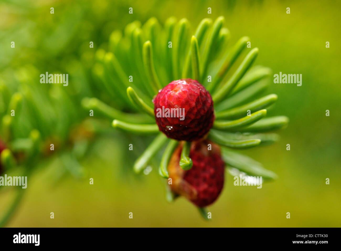 Blanco abeto rojo (Picea glauca) Desarrollar el cono en el extremo de la rama, mayor en Sudbury, Ontario, Canadá Imagen De Stock