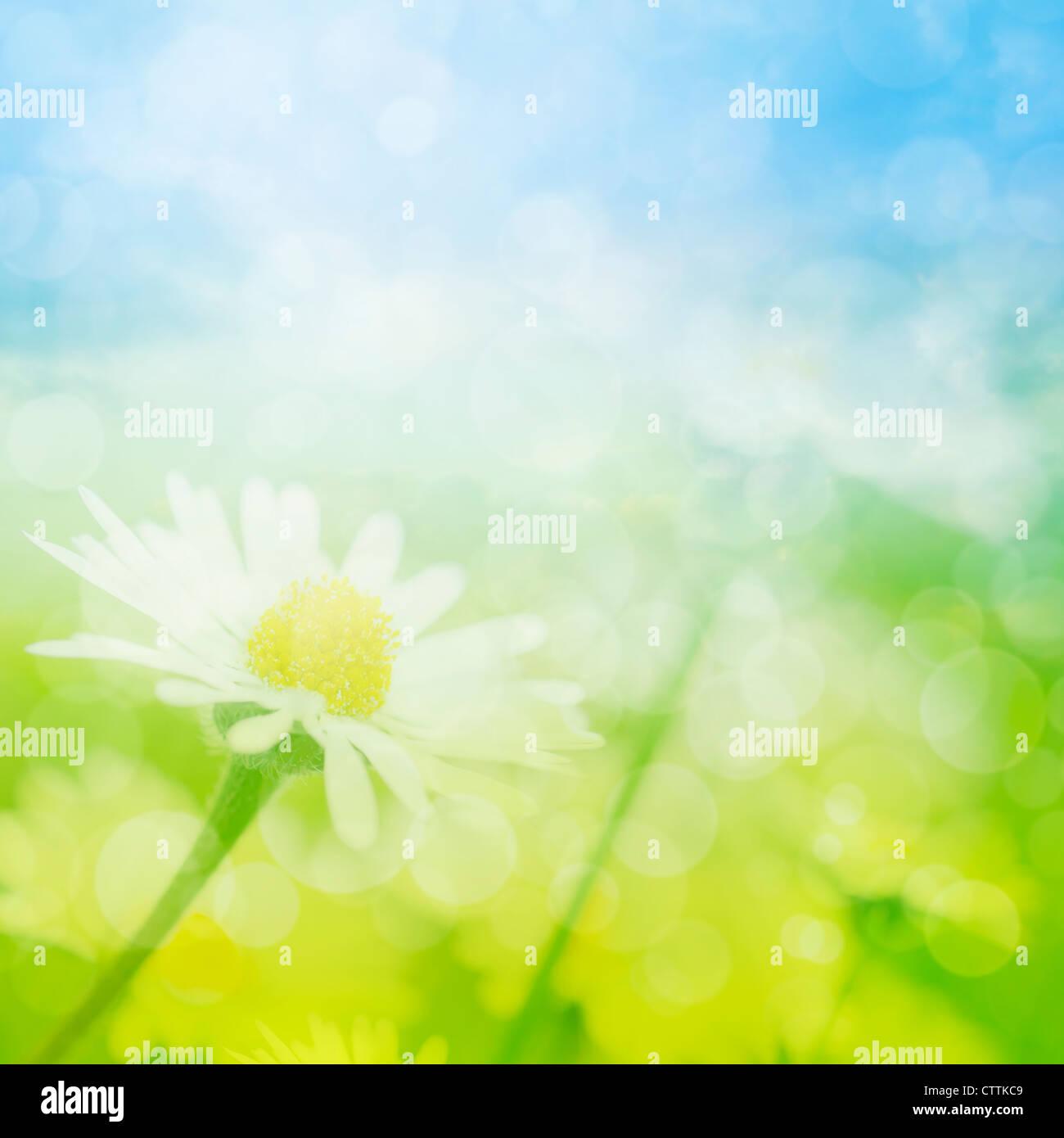 Campo de verano de flores de manzanilla con bokeh luces. Imagen De Stock