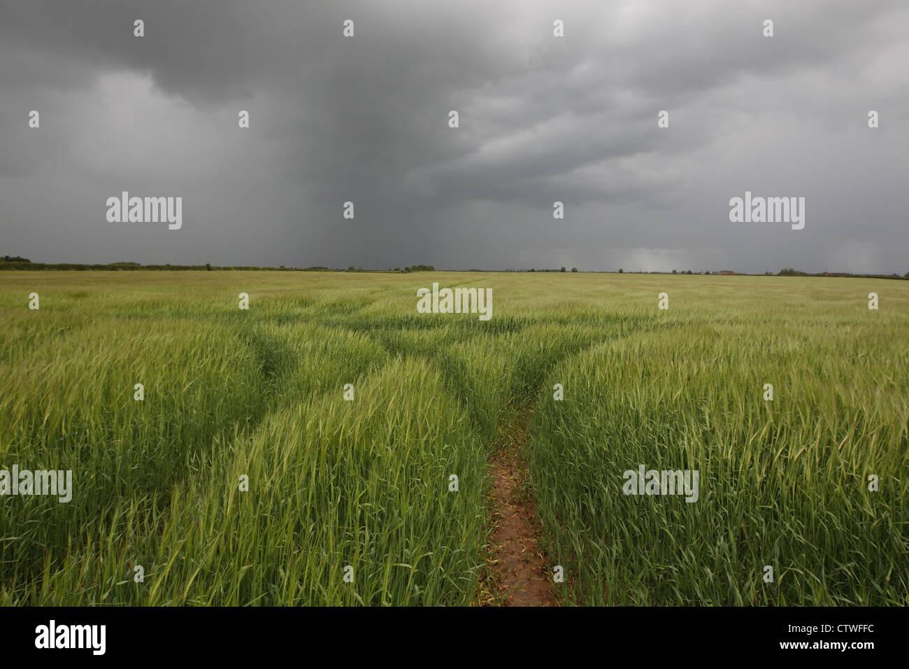 Campo de cebada en la tormenta Imagen De Stock
