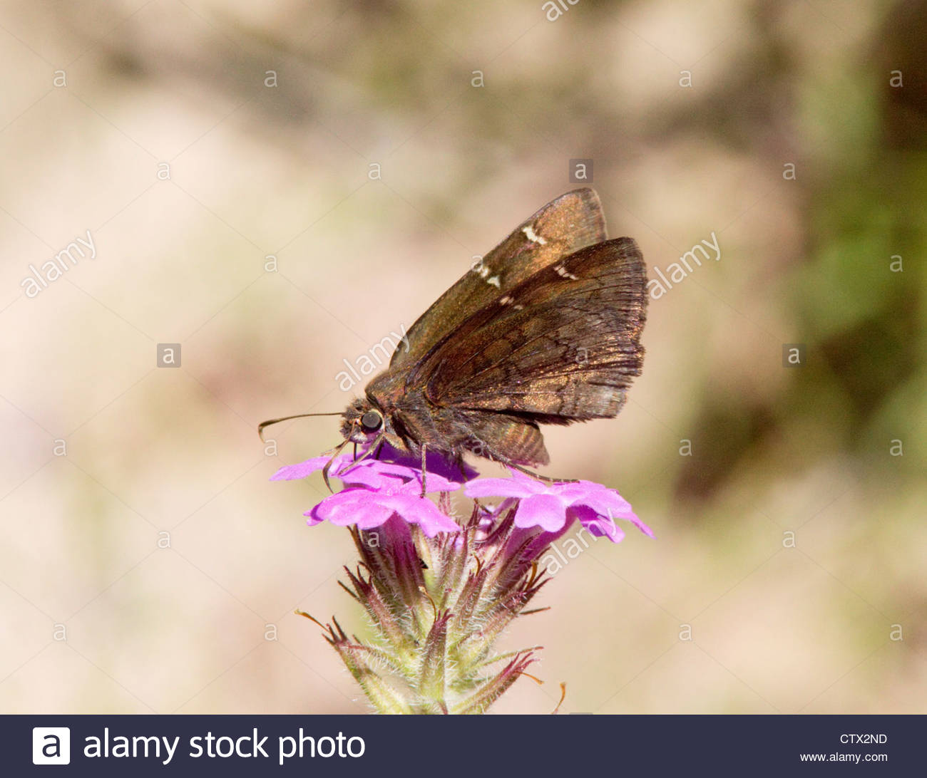 Norte Cloudywing Thorybes pylades Butterfly Arizona Foto de stock