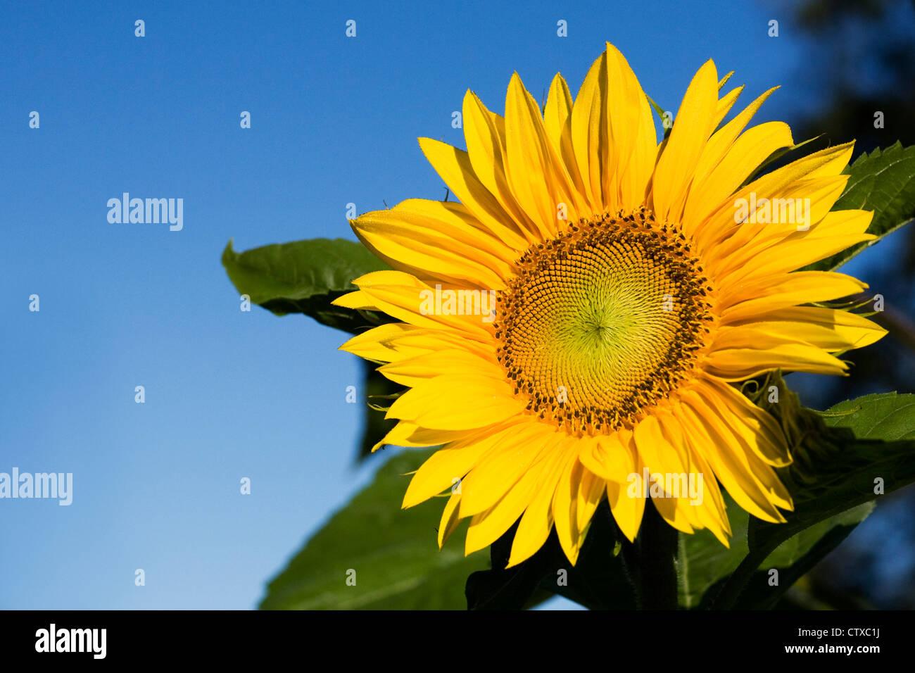 Helianthus annuus. Un solo girasol contra un cielo azul. Imagen De Stock
