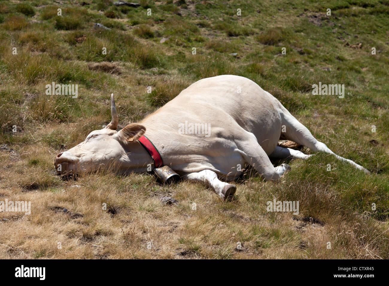 Una rubia d'Aquitaine vaca descansando en una completa posición relajada (Pirineo occidental - Francia). Imagen De Stock