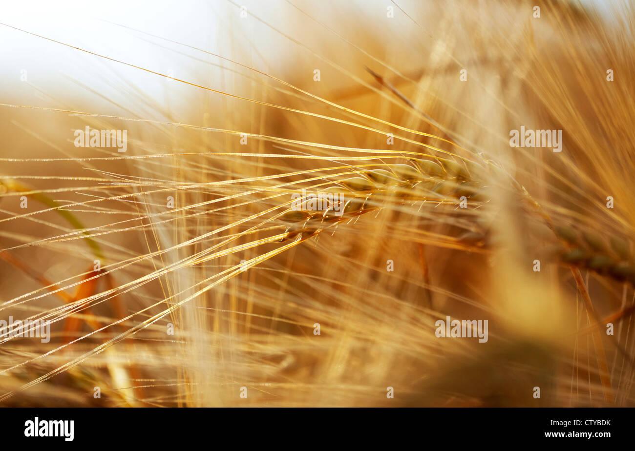 Orejas de cebada Imagen De Stock