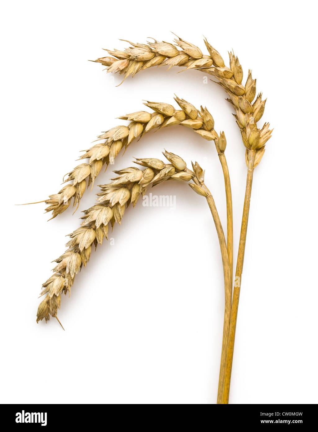 Espigas de trigo sobre fondo blanco. Imagen De Stock