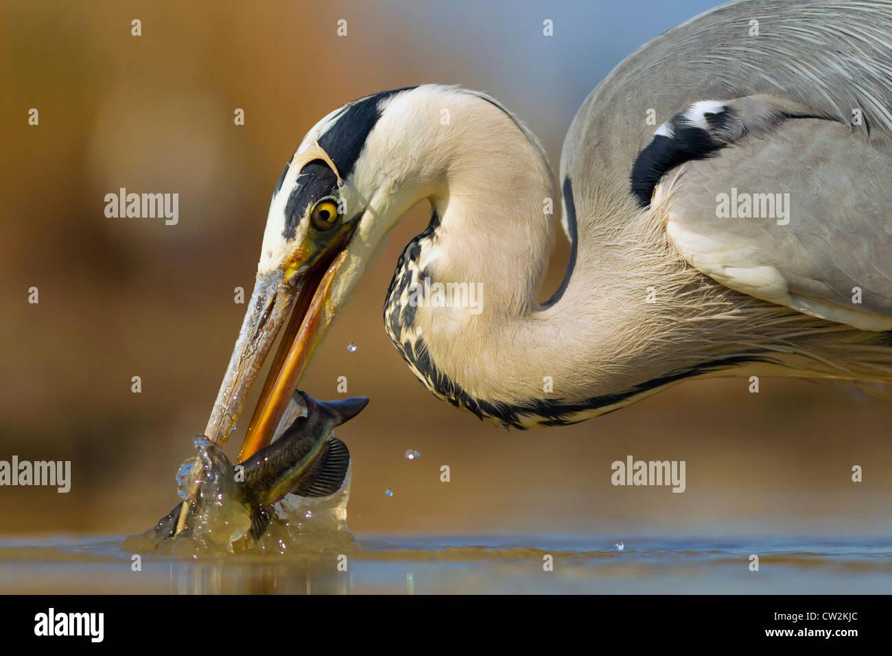 Garza real (Ardea cinerea)con un pez en su pico.hambre Imagen De Stock