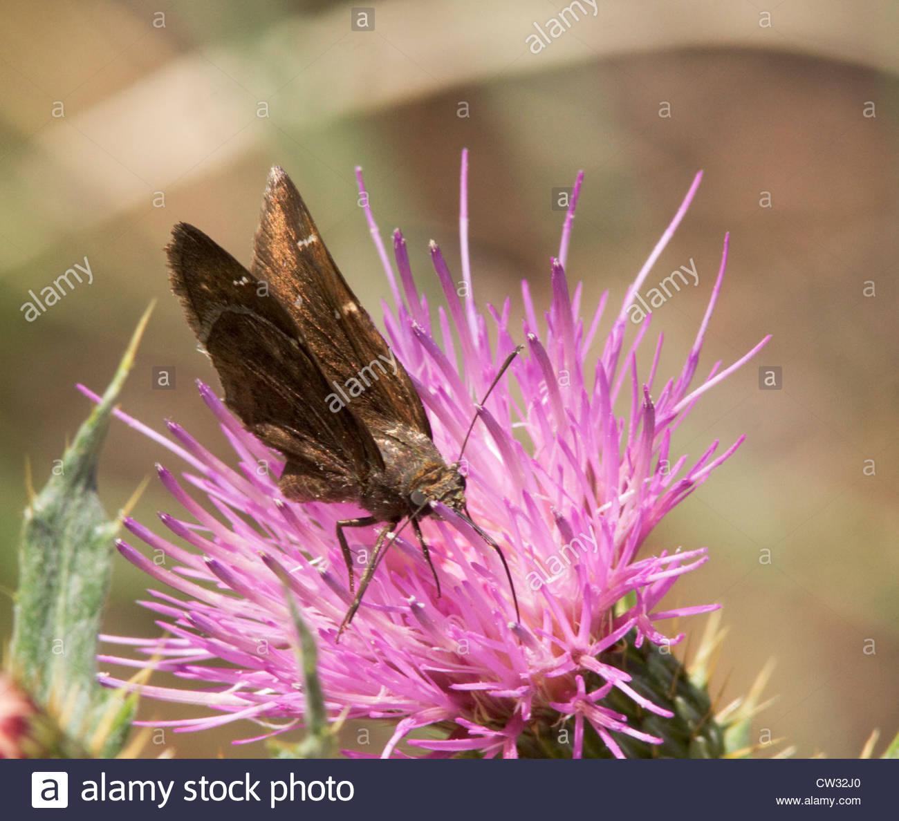 Norte Cloudywing Thorybes pylades mariposa sobre flor violeta thistle Arizona Foto de stock