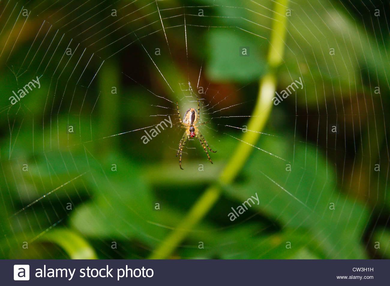 Araña en el centro de su web Imagen De Stock