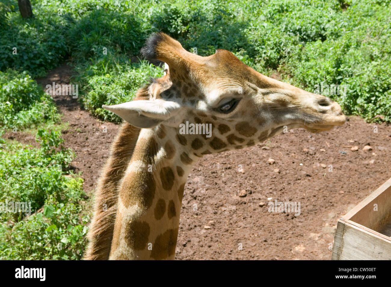 Mano alimenta la cabeza de la jirafa Rothschild Fondo Africano de fauna silvestre en peligro de extinción Giraffe Center cerca de Parque Nacional Nairobi Nairobi Foto de stock