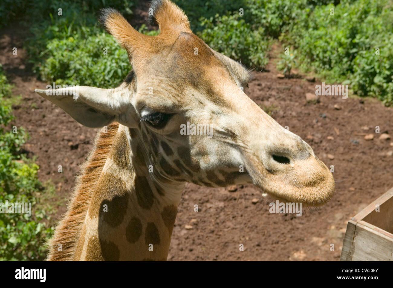 Cerca de la cabeza de la jirafa Rothschild Fondo Africano de fauna silvestre en peligro de extinción Giraffe Center cerca de Parque Nacional Nairobi Nairobi Kenya Foto de stock