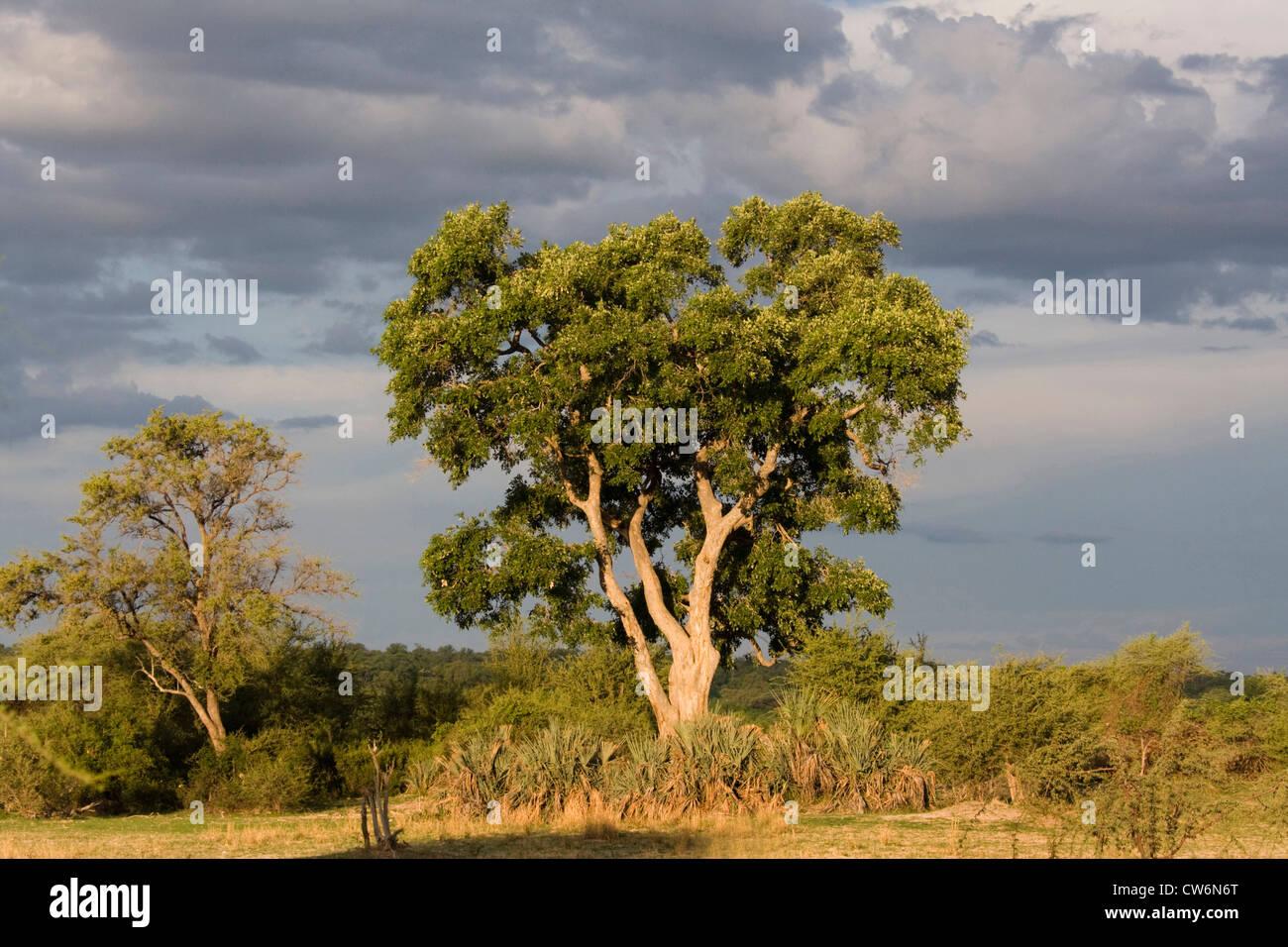 Clima tormentoso en Parque Nacional Mahango, Namibia, Caprivi, Mahango NP Imagen De Stock