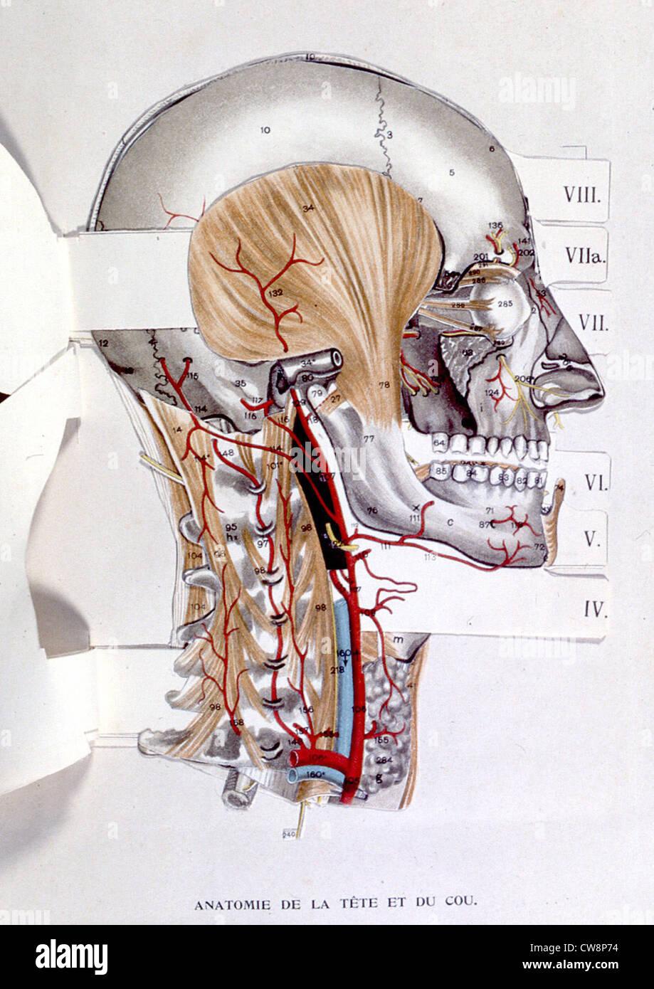 El cuerpo humano, la cabeza y el cuello, representación de finales ...
