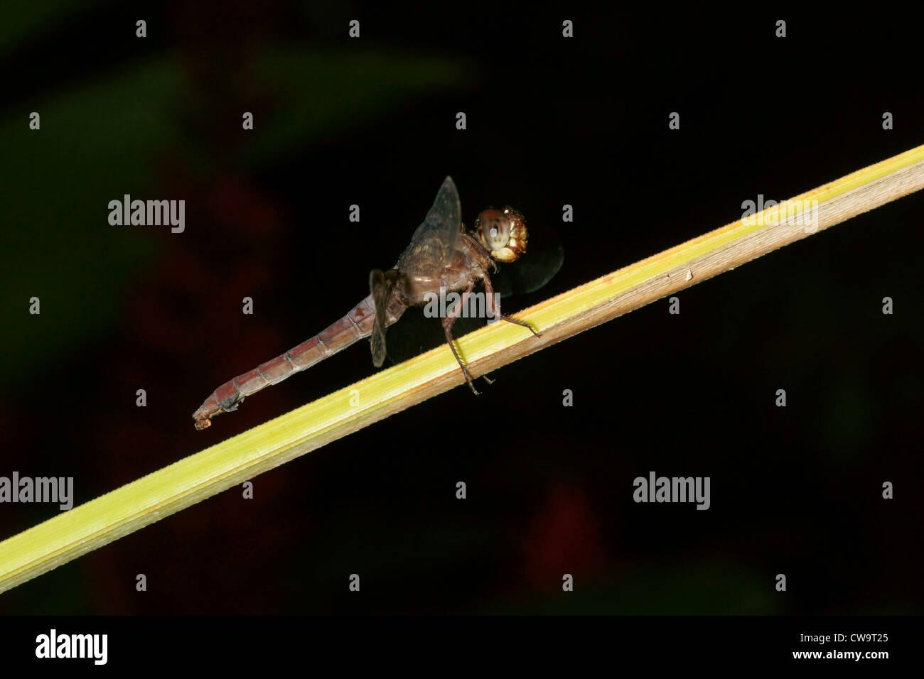 Dragonfly en planta de tallo Foto de stock