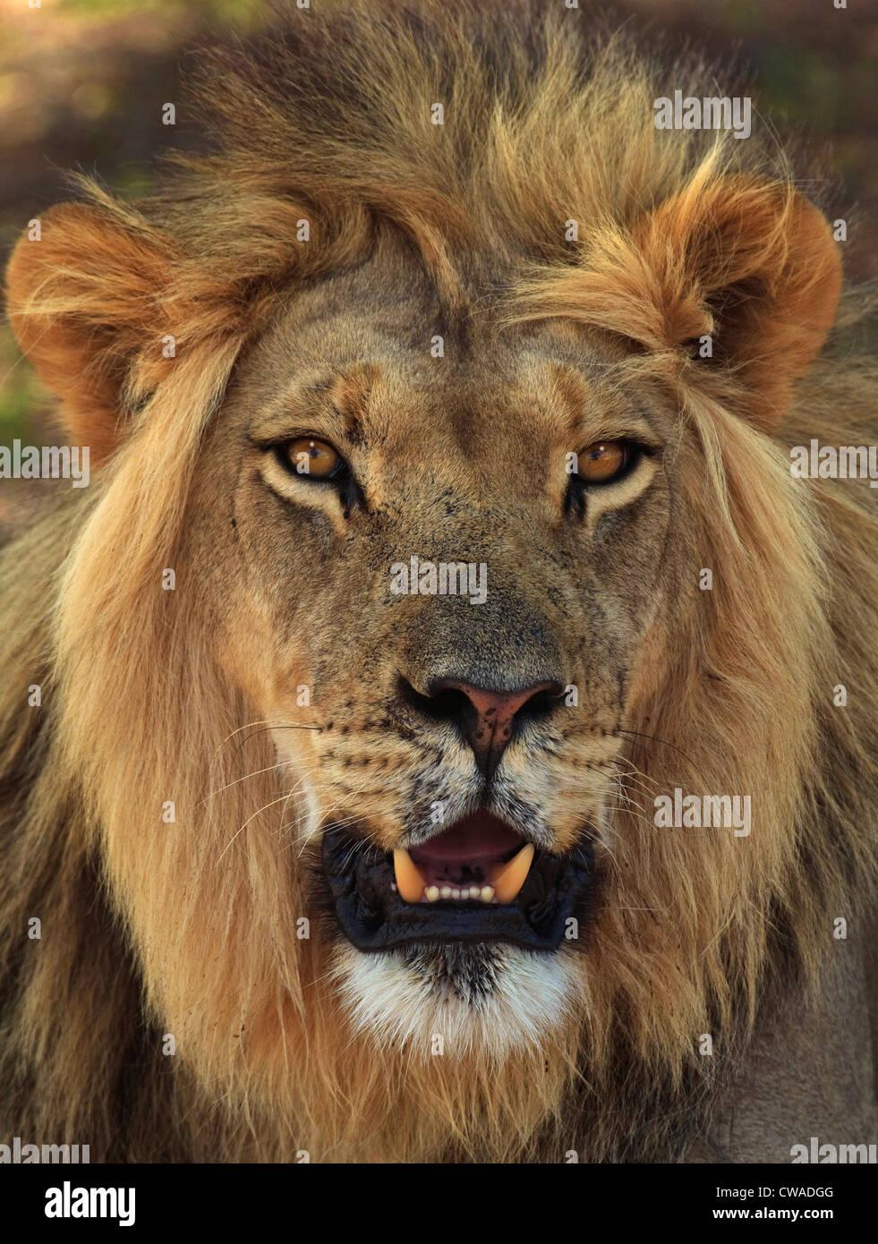 Retrato de León, el Parque Transfronterizo Kgalagadi, África Imagen De Stock