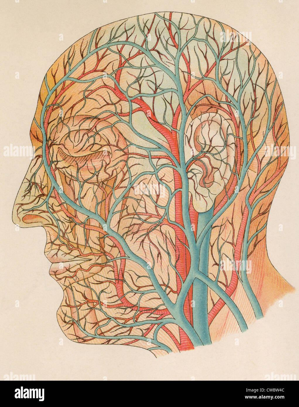 Los vasos sanguíneos de la cabeza de una anatomía alemana texto de ...