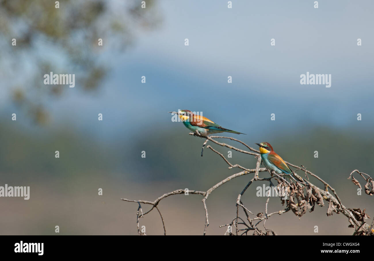 Unión abejarucos, Merops apiaster. España. Foto de stock