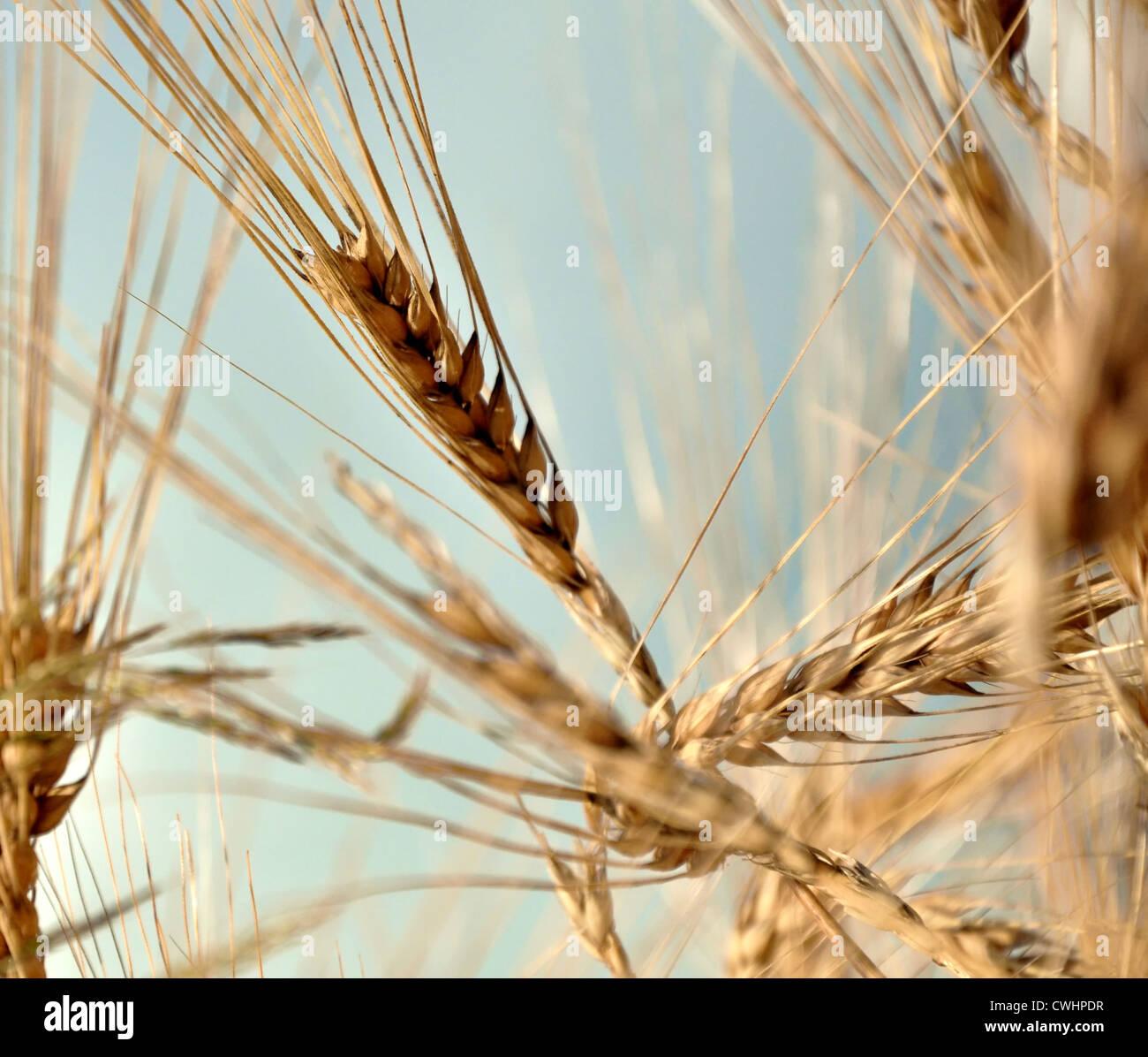 grano, grano Imagen De Stock