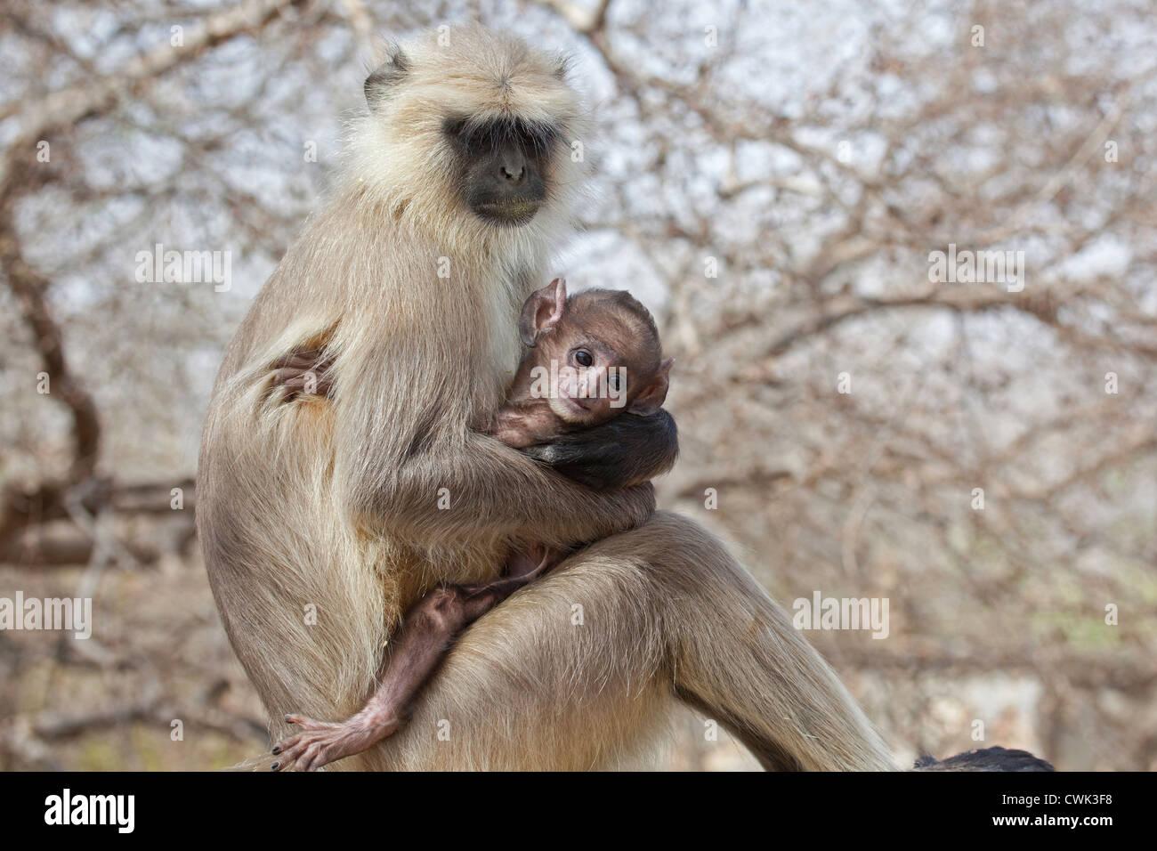 Gris / langur Hanuman langur (Semnopithecus entellus) con el bebé, el Parque nacional de Ranthambore, Sawai Imagen De Stock