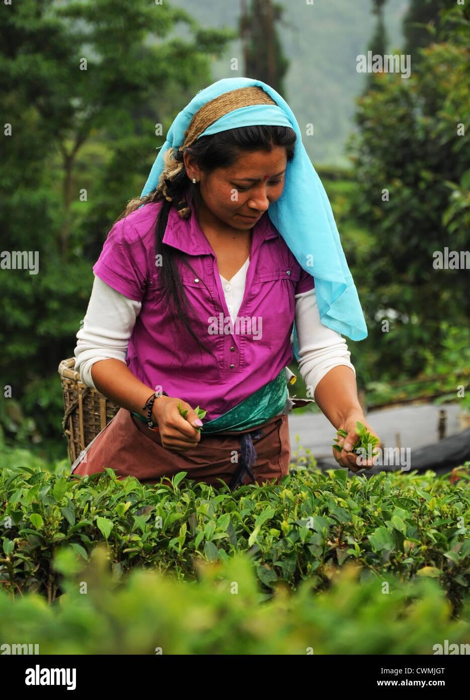 Los recolectores de té en un jardín de té Darjeeling, India Imagen De Stock