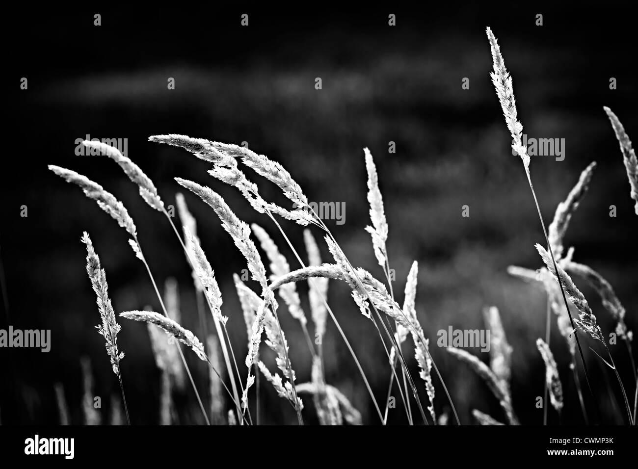 Altos tallos de pasto silvestre creciendo en blanco y negro Imagen De Stock