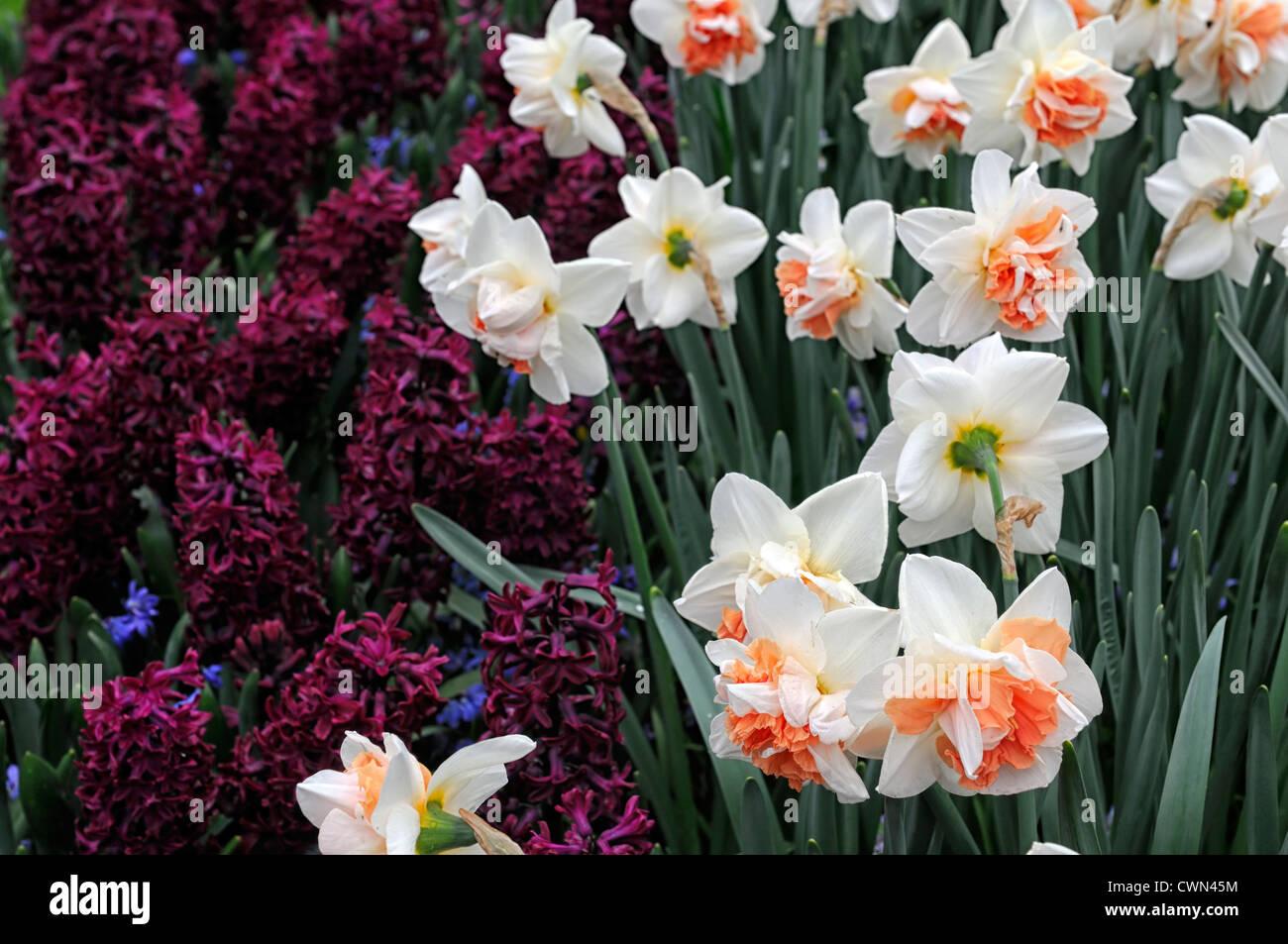 Narciso mi historia woodstock jacinto scilla siberica mezcla de plantación mixta combinación bulbos de Imagen De Stock