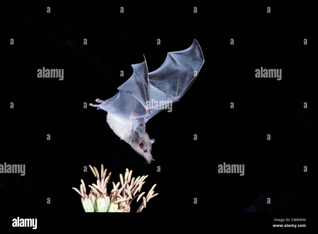 Murciélago de la alimentación del néctar, el murciélago de nariz larga en peligro de extinción, Leptonycteris yerbabuenae, alimentándose en néctar por la noche, en Arizona. Foto de stock