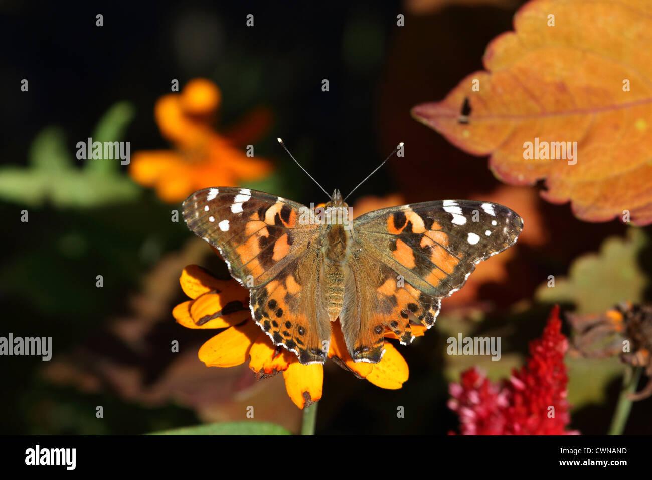Un American Painted Lady Butterfly, Vanessa virginiensis, alimentándose de una flor en un jardín. Aprendizaje's Foto de stock
