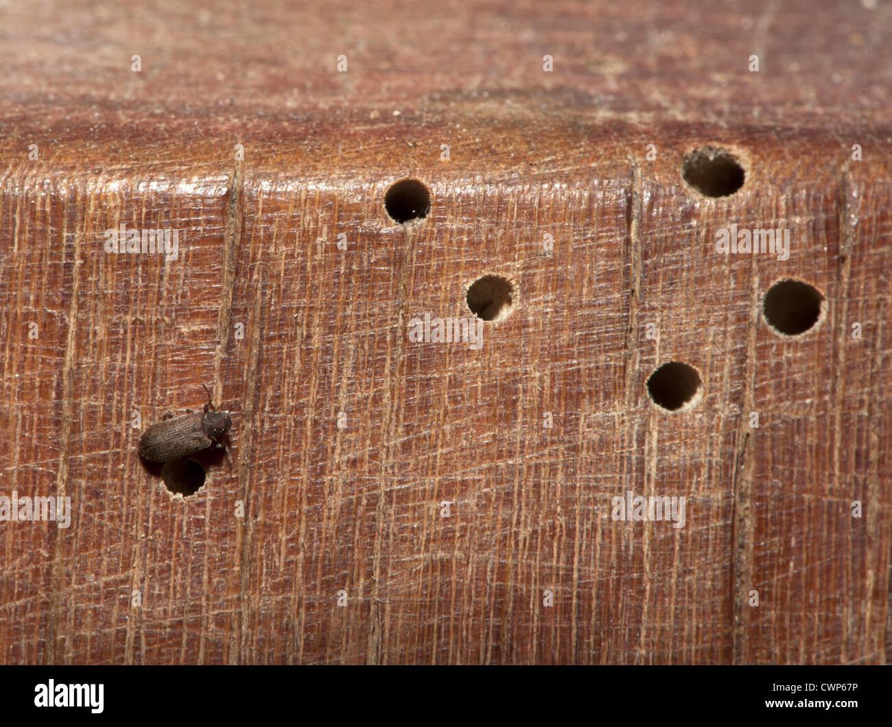 Mobiliario común Escarabajo (Anobium punctatum) adulto, con larvas ...
