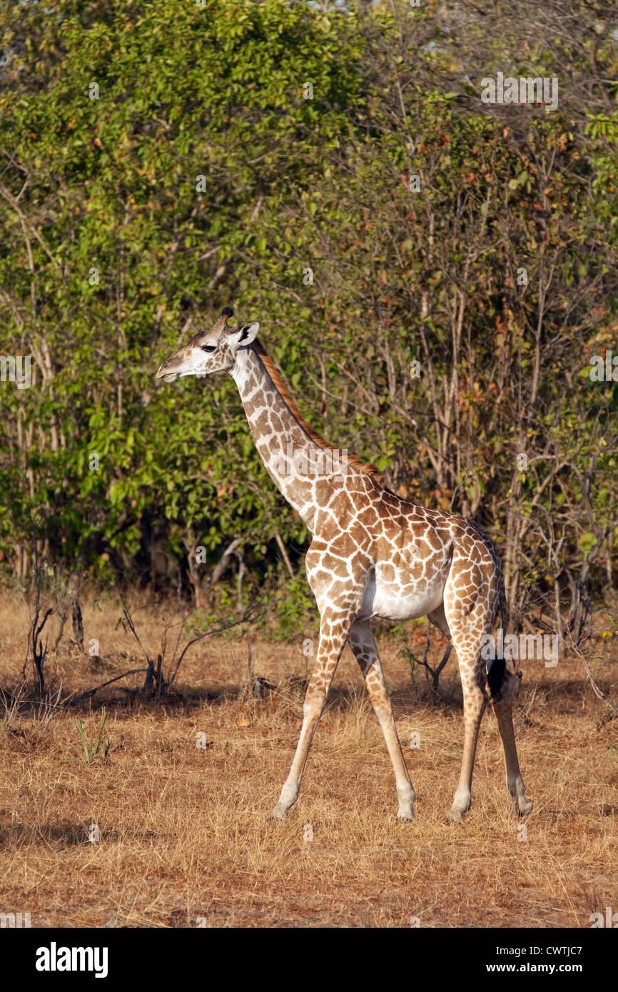 Bebé jirafa Masai, (Giraffa camelopardalis tippelskirchii) La Reserva de Caza Selous Tanzania África Imagen De Stock
