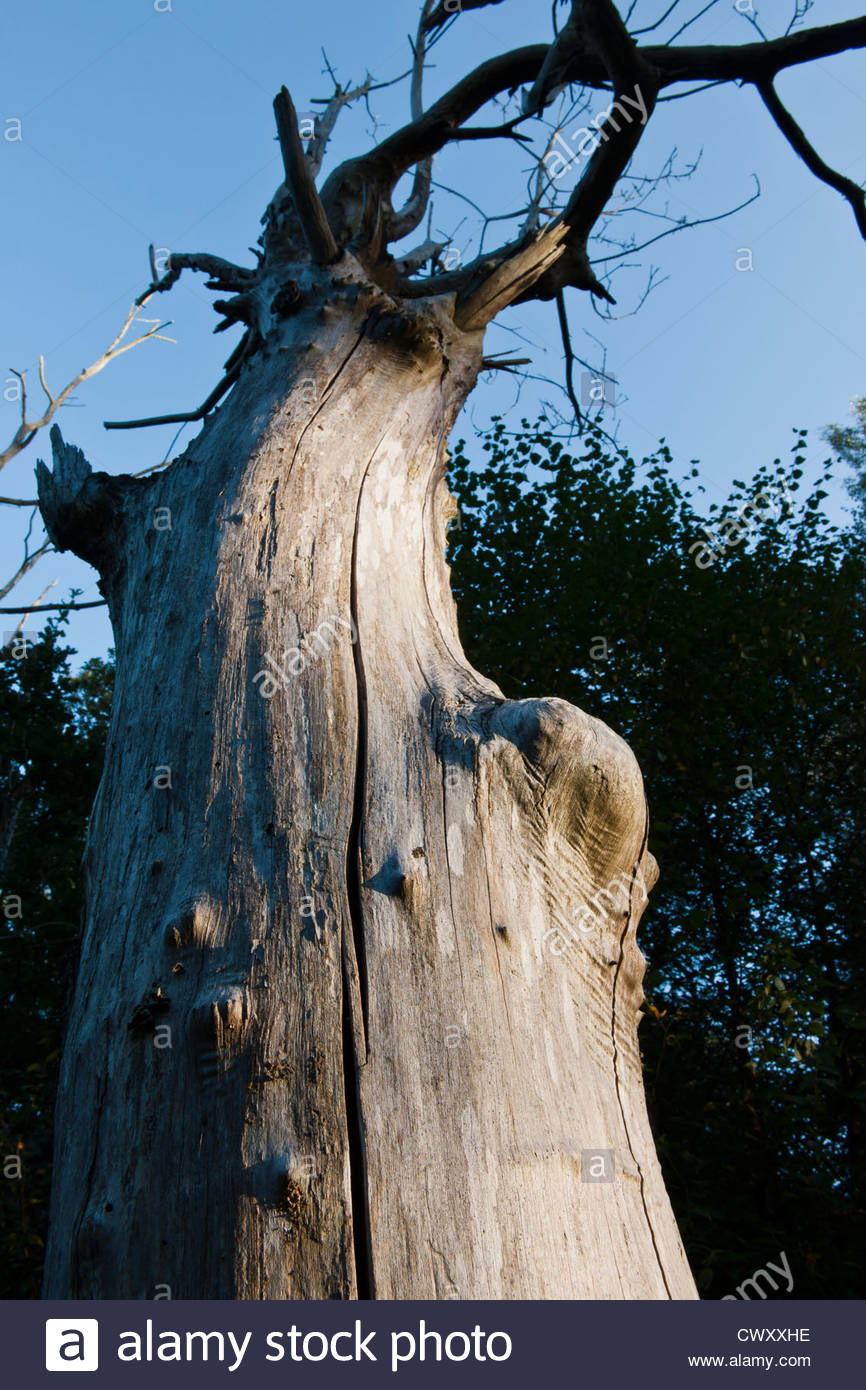 Tronco de árbol muerto madera lago East Sussex Woodland Trust crestas de arenisca de finales del verano septiembre Imagen De Stock