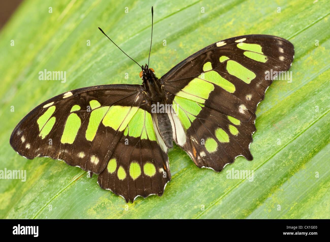 Mariposa de Malaquita Siproeta stelenes Sudamérica alas abiertas de color marrón y verde Foto de stock
