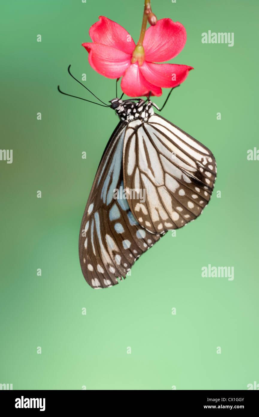 Blue Butterfly Tirumala septentrionis Glassy Tiger Asia Meridional descansando sobre prink flor Imagen De Stock