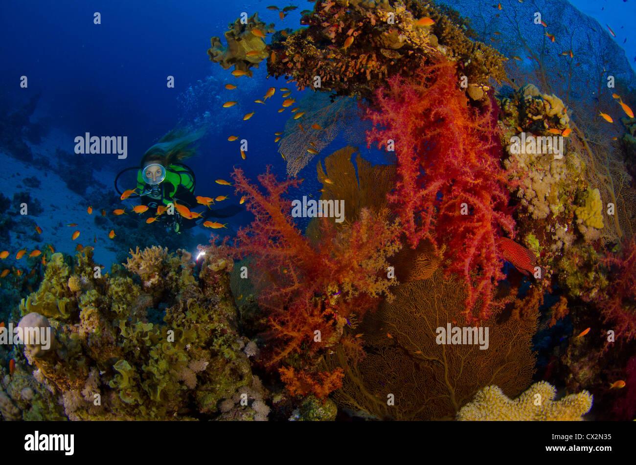 Los arrecifes de coral, Mar Rojo, Egipto, coloridos arrecifes tropicales, color coral, diver, diver femeninos, agua, Imagen De Stock
