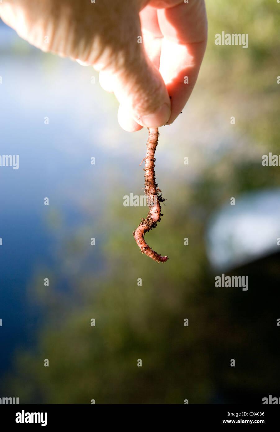 Mano sujetando gusano junto a un lago, preparándose para usar gusano como cebo. Imagen De Stock