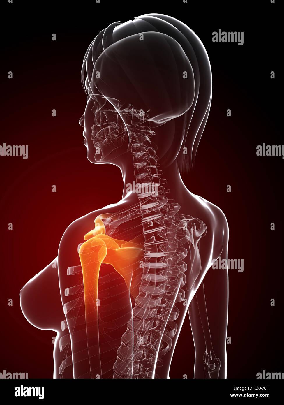 Dorable Hombro Anatomía 3d Embellecimiento - Imágenes de Anatomía ...