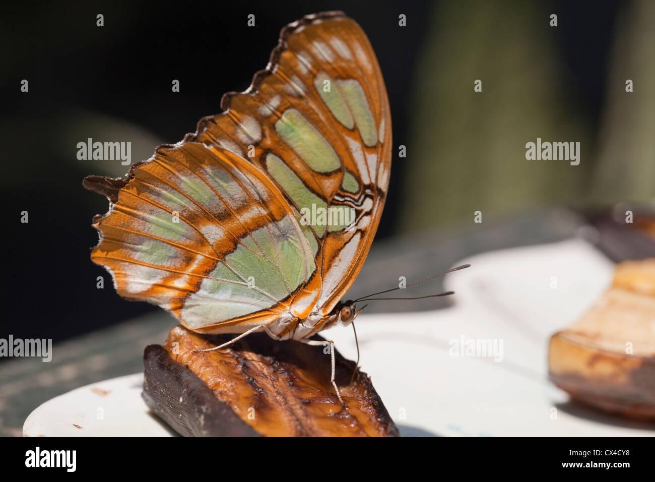 Una mariposa de Malaquita (Siproeta stelenes) alimentándose de una rodaja de plátano a la Finca de Mariposas fuera de San José. Foto de stock