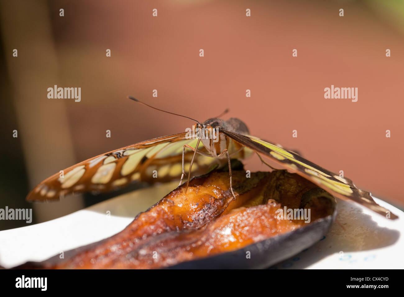 Primer plano de una mariposa (Siproeta stelenes Malaquita) alimentándose de una rodaja de plátano en la granja de mariposas, cerca de San José, Costa Rica. Foto de stock