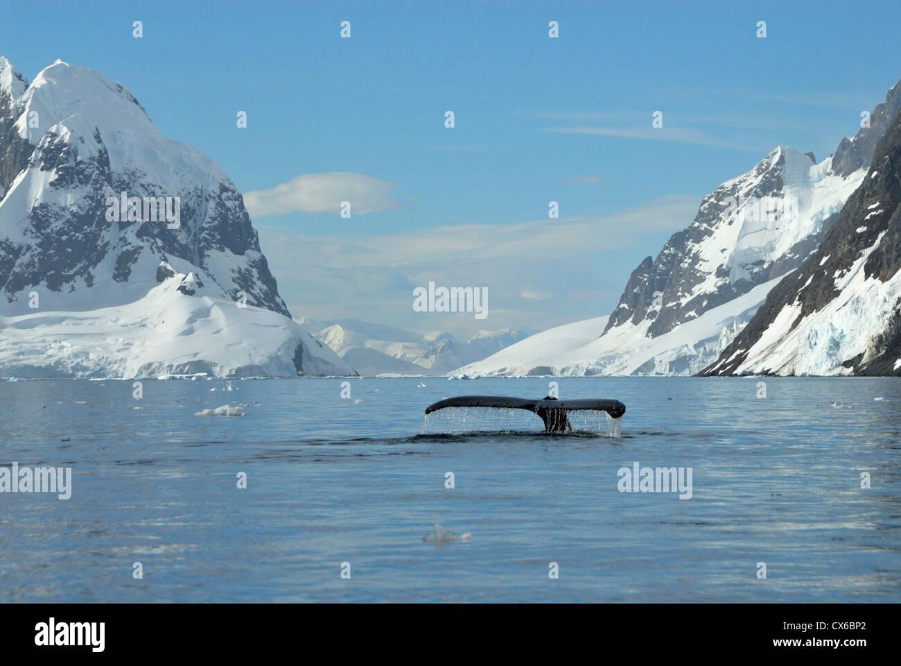 Cola de ballena jorobada. Imagen De Stock