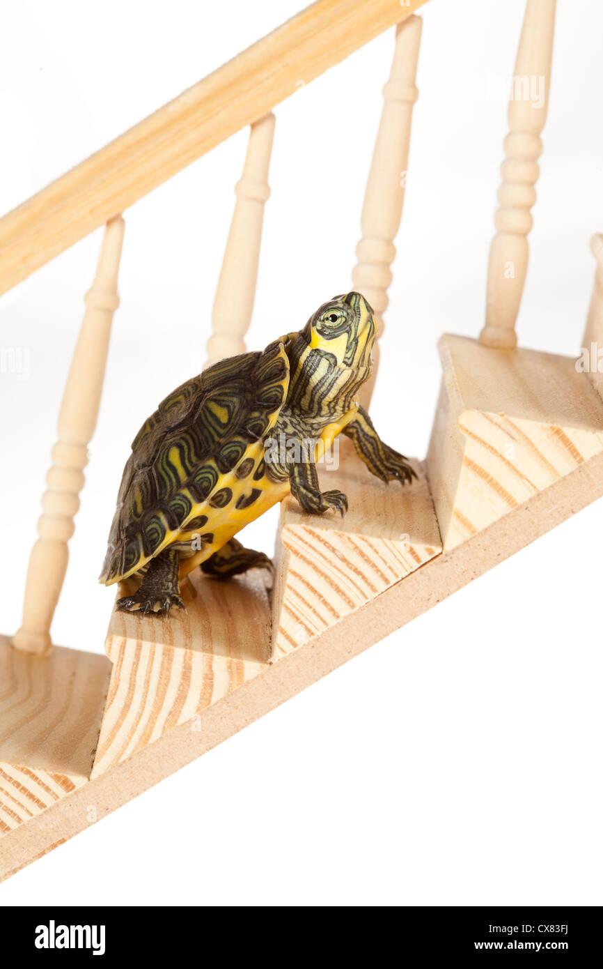 Tortuga ambicioso sube con perseverancia en una escalera o escalera Imagen De Stock