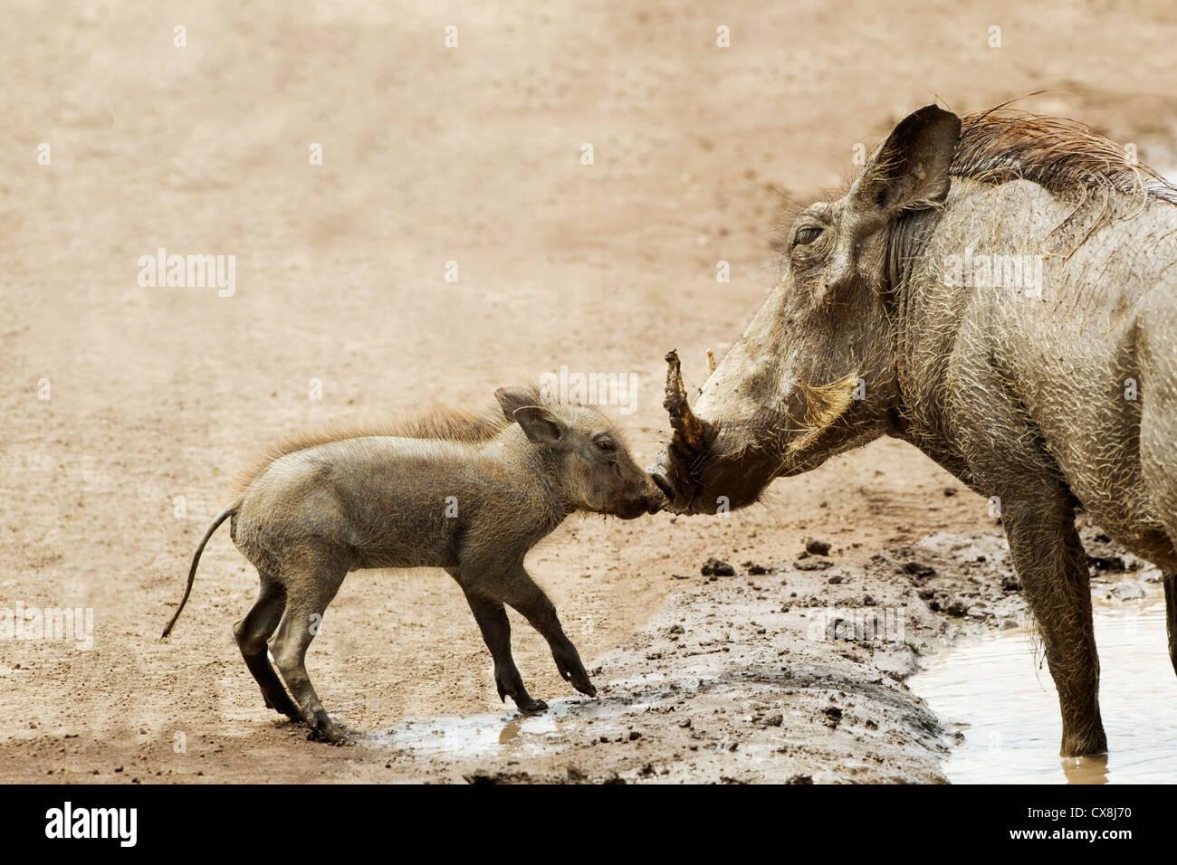 Bebé Jabalí verrugoso (Phacochoerus Africanus) besar a la madre en el cráter del Ngorongoro, Tanzania Imagen De Stock