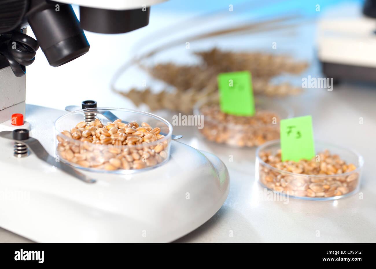 Selección genética de maíz híbrido biotecnología Imagen De Stock