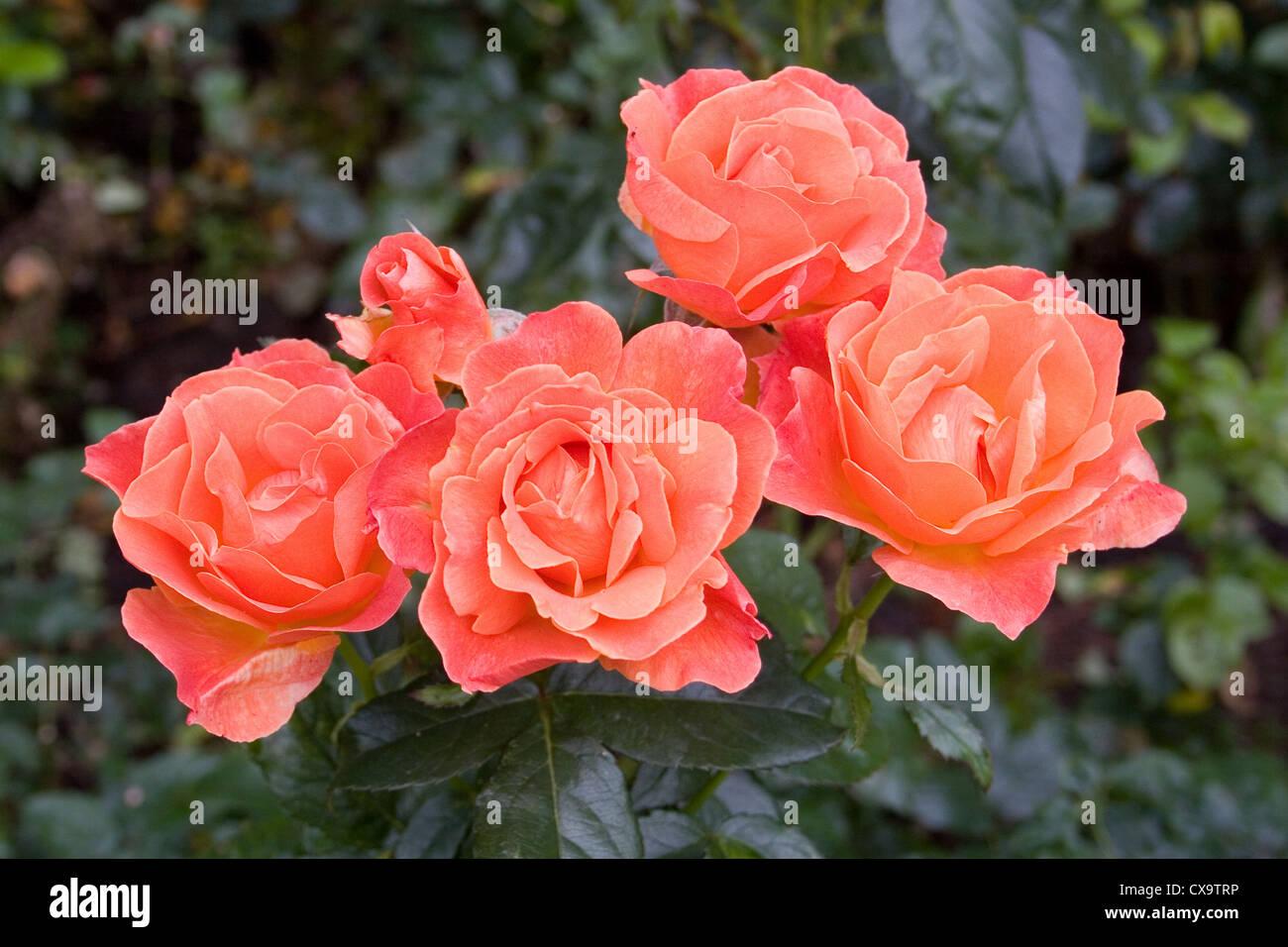 Floribunda Rose - Rosa Fellowship Imagen De Stock