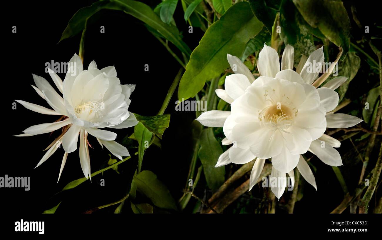 La reina de la noche (Epiphyllum Oxypetalum), florece sólo una vez a la medianoche durante unas horas, luego Imagen De Stock