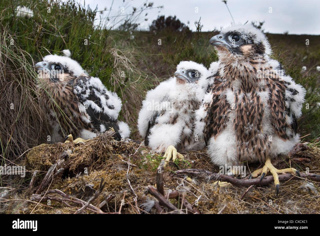 Pollitos peregrino (Falco peregrinus), tras ser anillados, Parque Nacional de Northumberland, Inglaterra, Reino Unido, Europa Foto de stock