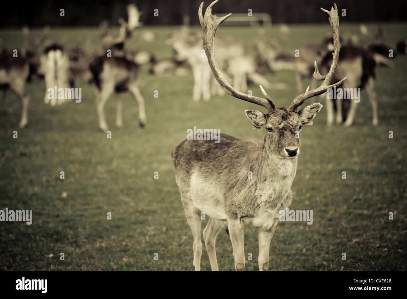 Stag con rebaño de ciervos en Phoenix Park, Dublín, República de Irlanda, Europa Imagen De Stock