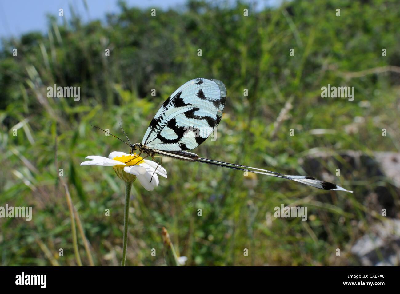 Rosca o lacewing Spoonwing lacewing alada (Nemoptera sinuata) alimentación en ojo de buey margarita (Leucanthemum vulgare), Lesbos, Grecia Foto de stock