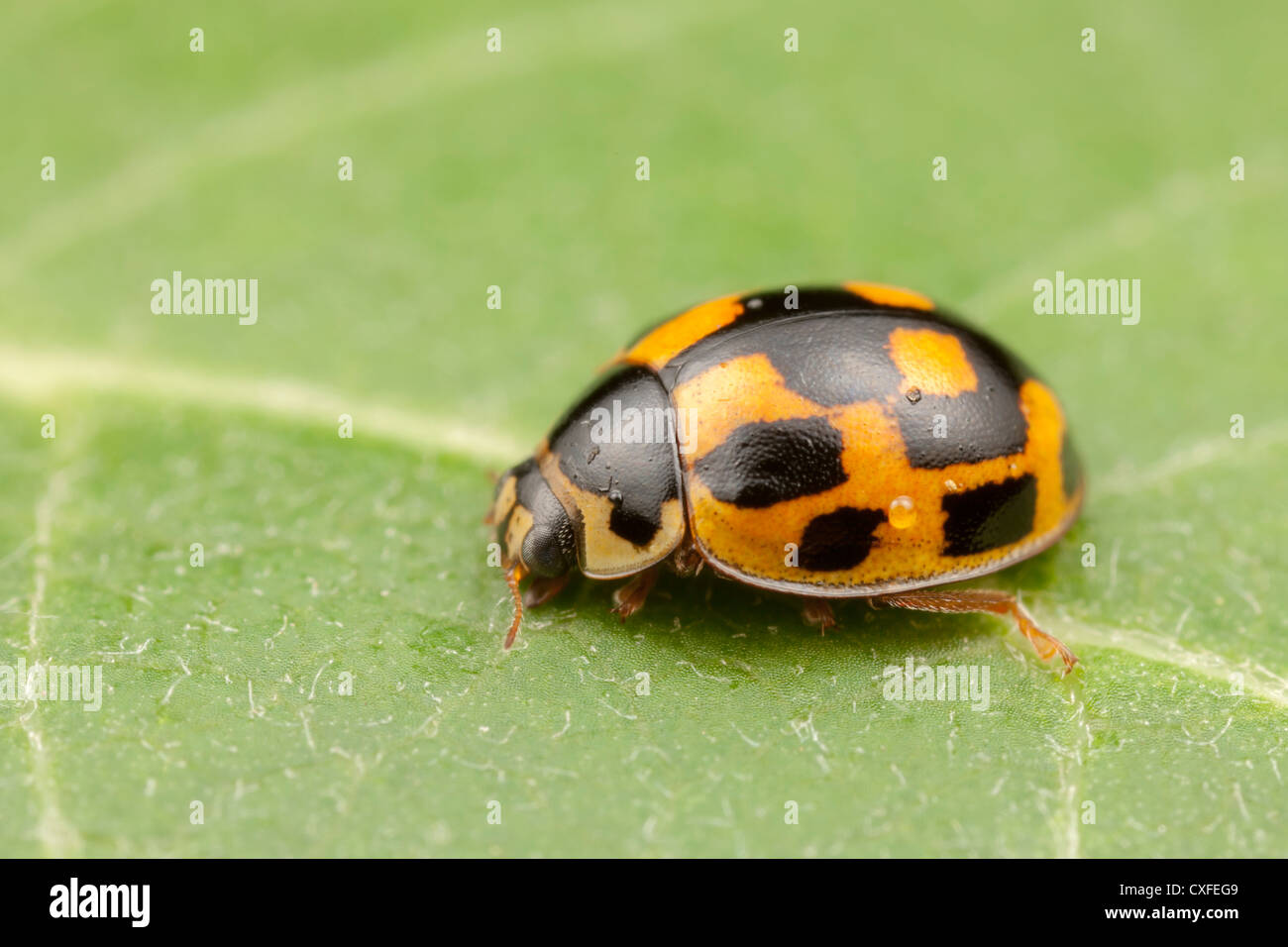 14-spotted Lady Beetle (Propylea quatuordecimpunctata) - Hembra Imagen De Stock