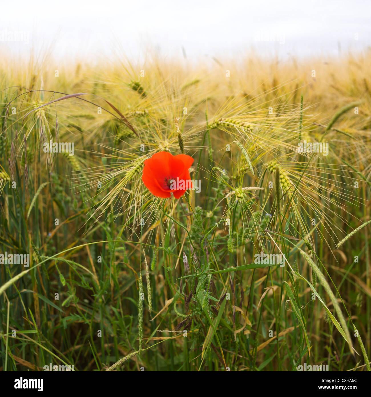 En un campo de cultivo de cebada Imagen De Stock