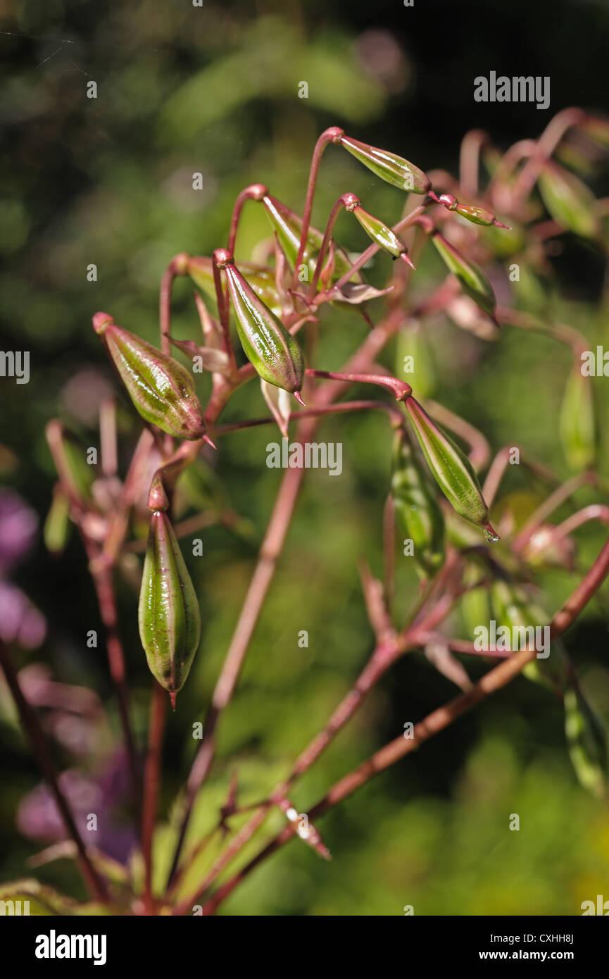 Bálsamo del Himalaya (Impatiens gladulifera) explosivas las vainas y flores de esta maleza invasora Foto de stock